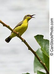 Olive Backed Sunbird - Female, Mui Ne, Vietnam