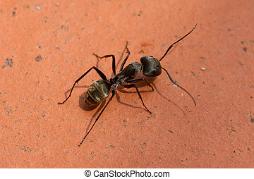 Large black ant walking on a red brick