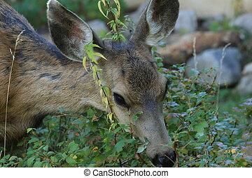 Adult mule deer doe