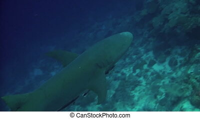 Tawny nurse shark - A harmless Tawny nurse shark cruises by...
