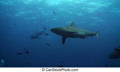 Shark overhead - A grey reef shark circles overhead in the...
