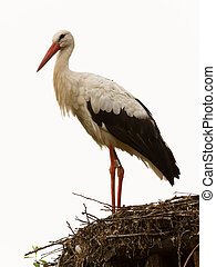 Adulto, Cigüeña, su, natural, habitat, nido