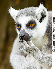 Ring-tailed lemur (Lemur catta) cleaning it's claw in a...