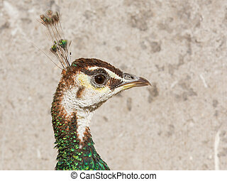 Female peacock isolated on a stone background