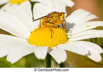Small fly on an ox eye daisy - Small fly sits in the middle...