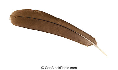 Large brown female peacock feather closeup, isolated