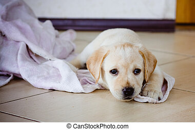 Labrador Retriever Puppy - Golden Retriever Puppy Of 7 Weeks...