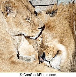 Two lions - Couple of lions (Pantera leo) laying on the...