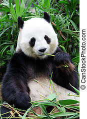 giant panda bear eating bamboo