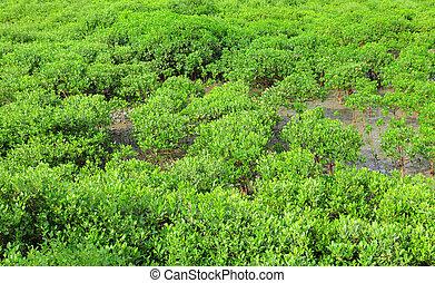 Red Mangroves