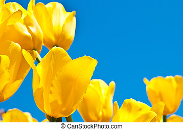 tulips - yellow tulips against the blue sky