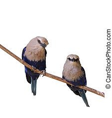 Tropical Birds - Blue Bellied Roller Birds On White...