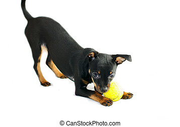 Cute puppy of russian toy-terrier,playing with tennis-ball