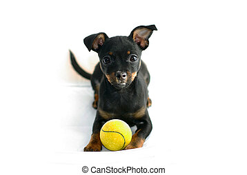 Cute puppy of russian toy-terrier, posing with tennis-ball