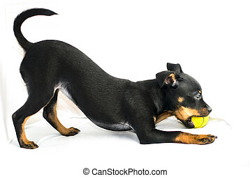 Cute puppy of russian toy-terrier, playing with tennis-ball