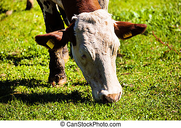 cow on a pasture - a happy cow while grazing in pasture...