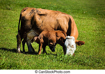 cow on a pasture - cow and calf graze on the pasture....