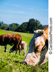 cow on a pasture - a happy cow while grazing in pasture....