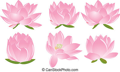 Illustration, lotus(waterlily)