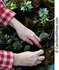 Crafting a succulent wreath - Hands of elderly woman...