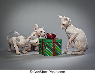 hairless christmas cats - Three hairless cats around a...