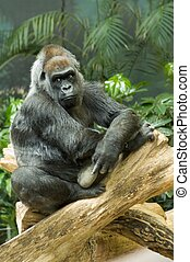 Endangered Western Lowland Gorilla - Thoughtful Western...