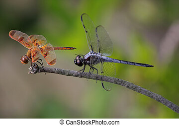 Pair of Dragonflies - Painted Skimmer Dragonfly Libellula...