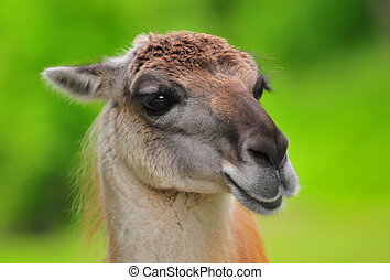 guanaco - portrait of guanaco