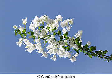 White blooming bougainvilleas against the blue sky - Branch...