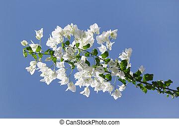 branca, florescer, Bougainvilleas, contra, azul, céu
