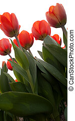 Tullips - Several tulips from the Netherlands