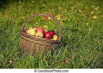 Basket full of red and yellow apples in the orchard