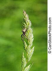 Spider on grass stalk on green background