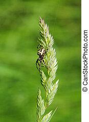 Spider on grass stalk on  green background
