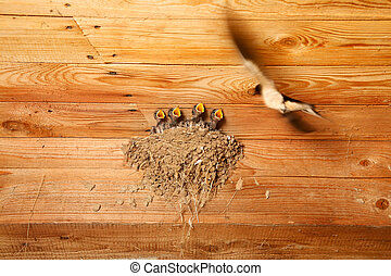 Swallow and baby birds in nest - swallow in flight feeds the...