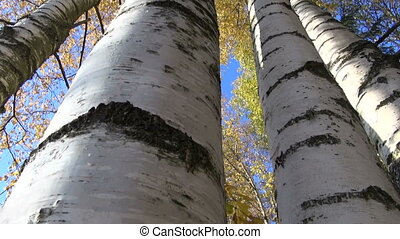 autumn golden birches tree group in forest and camera...