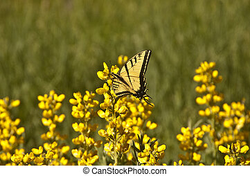 Swallowtail in Yellow - Swallowtail butterfly in Golden Pea