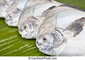 Black pomfret fishes on banana leaf