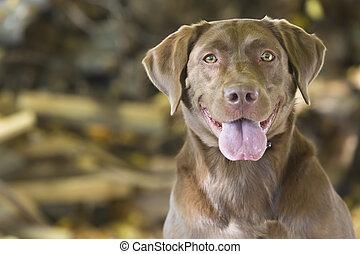 Hunting Dog - A Chocolate Labrador Retriever prepares for...