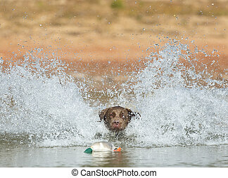 Hunting Dog - A Chocolate Labrador jumps into a lake as he...