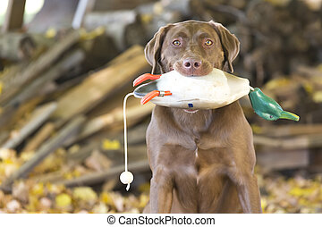 Hunting Dog - A Chocolate Labrador Retriever prepares for...