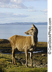 Red deer doe on shoreline - Scottish Red deer doe on...