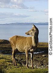 Red deer doe on shoreline - Scottish Red deer doe on...