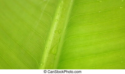 Banana Leaf - Closeup of raindrops on a Banana Leaf.