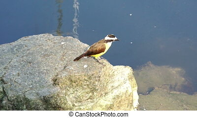 Great Kiskadee sitting on a rock hunting for fish