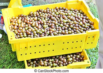 Grape harvest - Fresh picked muscadine grapes in a basket