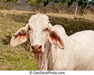 Close up of young white brahman cow on ranch - Close up of...