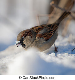 sparrow looks for food under snow - the sparrow looks for...