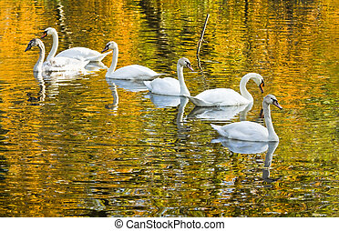 White mute swans with fall colors in water - White mute...