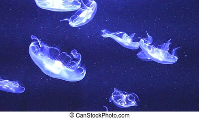 Jelly Fish - Some swimming Jelly fishes in deep, blue water...